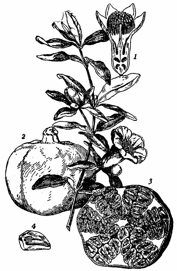 Britannica Pomegranate Flowering Branch and Fruit.jpg