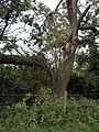 Broken tree branch - geograph.org.uk - 1572547.jpg