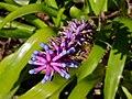 Bromeliad Plant, Purple and Pink (4798881769).jpg
