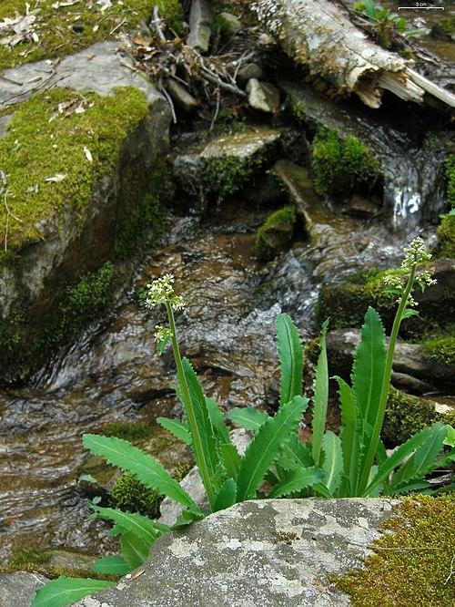 Branch lettuce micranthes micranthidifolia for Cabine sospese di rock state park nc