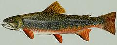 240px brook trout