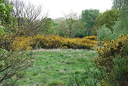 Broom on Barnes Common - geograph.org.uk - 789503.jpg