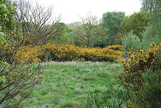 Barnes Common - Image: Broom on Barnes Common geograph.org.uk 789503