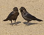 Brown-necked Raven (Corvus ruficollis).jpg