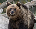 Brown bear at Skansen3-3 (15181578762).jpg