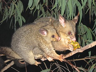 Phalangeriformes - Brushtail possums in a eucalyptus tree