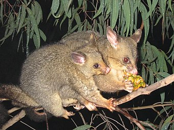 The common brushtail possum is one of the 33 species of land mammal introduced to New Zealand by humans. Brushtail possum.jpg
