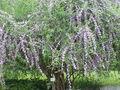 Buddleja alternifolia5.jpg