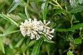 Buddleja thyrsoides.jpg