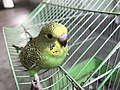 Budgerigar Bird 02.jpg
