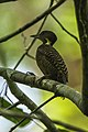 Buff-necked Woodpecker - Krung Ching - Thailand S4E3663 (14256613532).jpg