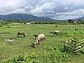 Buffaloes in Champasak.jpg