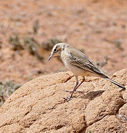 Buffy Pipit (Anthus vaalensis) (31778865463).jpg
