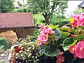 Bumblebee on Begonia x semperflorens-cultorum publicdomain tbf - 19.jpg