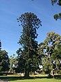 Bunya Pine at Hazelwood Park South Australia.jpg