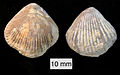 Burmirhynchia jirbaensis Callovian Israel.jpg