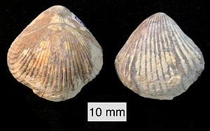 Rhynchonelliformea - Burmirhynchia jirbaensis (Jurassic, Israel)