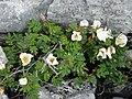 Burren Flora 20 Burnet Rose (3585364983).jpg
