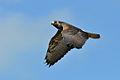 Buteo albicaudatus -Mostardas, Rio Grande do Sul, Brasil -juvenile-8.jpg