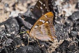 Butterflies of Tambov Oblast - 001.jpg