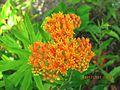 Butterfly Weed (5860091172).jpg