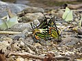 Butterfly mud-puddling at Kottiyoor Wildlife Sanctuary (10).jpg