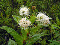 Buttonbush in the Everglades