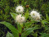 Buttonbush in the Everglades