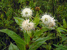 Buttonbush in the Everglades.jpg