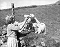 Bwydo wyn a photel yng Nghae Gwyn, Trawsfynydd (18874754823).jpg