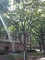 C31-1-Quercus alba (White Oak).JPG