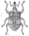 COLE Curculionidae Sympedius testudo.png
