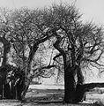 COLLECTIE TROPENMUSEUM Baobab bomen bij Diani Beach TMnr 20014531.jpg