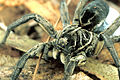 CSIRO ScienceImage 2263 Godeffroys Wolf Spider and her Egg Sac.jpg