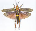 CSIRO ScienceImage 9 An African Pyrgomorph with wings outspread.jpg