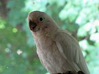 Juvenile Goffin's Cockatoo