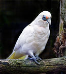 A white parrot with a crest, a yellow tail, a grey beak, and blue eye-spots and feet