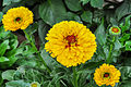 Calendula officinalis 03012015 (1).jpg