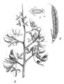 Calicotome villosa Taub109.png
