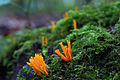 Calocera viscosa, Yellow Stagshorn, UKB.jpg