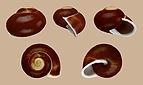 Calocochlia cailliaudi 01.JPG