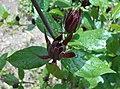 Calycanthus floridus 2016-05-17 0606.jpg