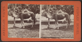 Camel, Central Park, N.Y, from Robert N. Dennis collection of stereoscopic views.png