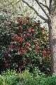 Camellia japonica 'Rubescens Major' at RHS Garden Hyde Hall, Essex, England 06.jpg