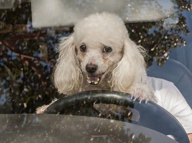 File:Caminata por los perros y animales Maracaibo 2012 (1).jpg