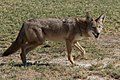 Canis latrans -Furnace Creek Golf Course, Death Valley, California, USA-8.jpg