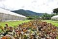 Caoba Farms Antigua Guatemala - lettuce.jpg