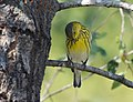 Cape May Warbler (37652150226).jpg
