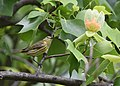 Cape May Warbler (female) (47800657082).jpg