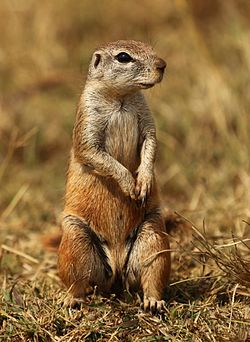 Cape ground squirrel, Xerus inauris, at Krugersdorp Game Reserve, Gauteng, South Africa (27410204561).jpg